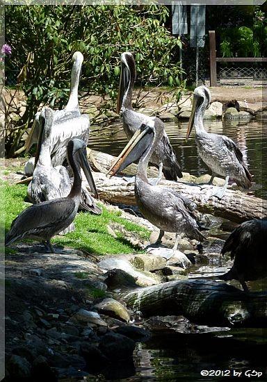 Chile-Pelikan