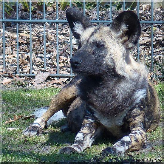 Afrikanischer Wildhund