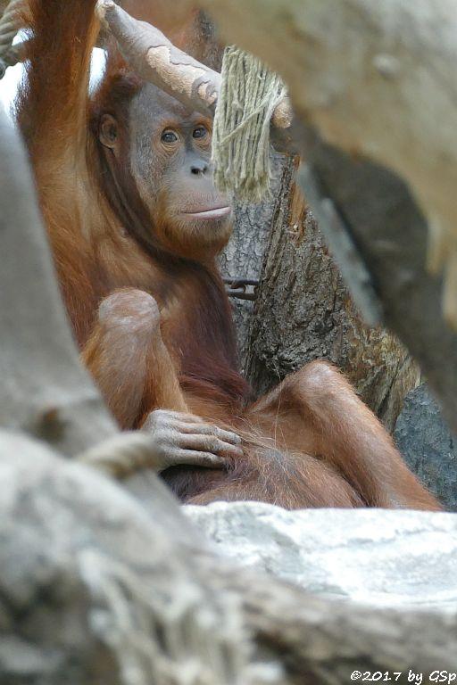 Sumatra-Orang-Utan BATAK, seit 8.8.17 in Hamburg