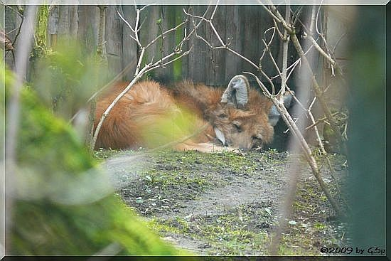 Mähnenwolf