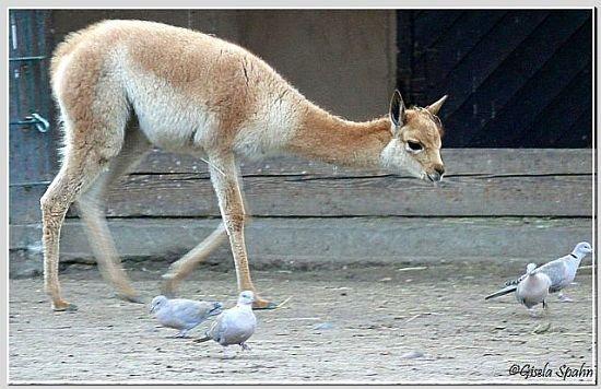 Vikunja auf Taubenjagd
