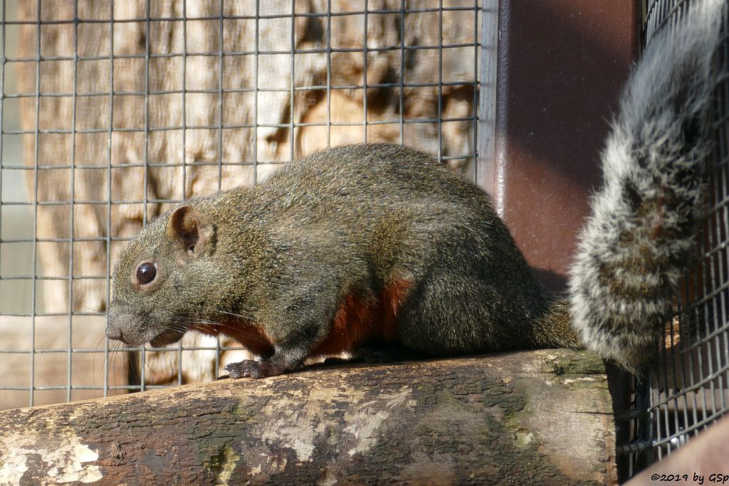 Pallas-Schönhörnchen (Rotbauchhörnchen, Pallashörnchen)