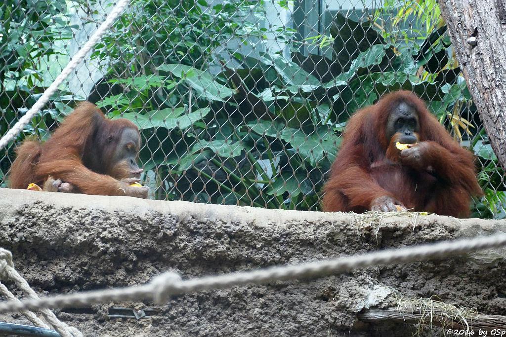 Sumatra-Orang-Utan LUCU und ROSA