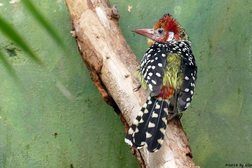 Flammenkopf-Bartvogel (Rotgelber Bartvogel)