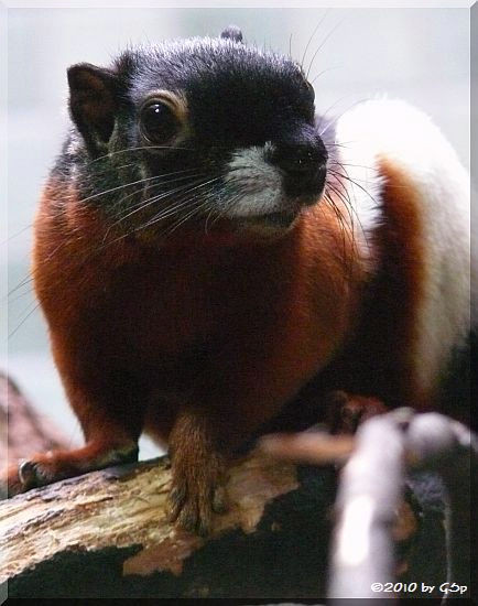 Prevost-Schönhörnchen
