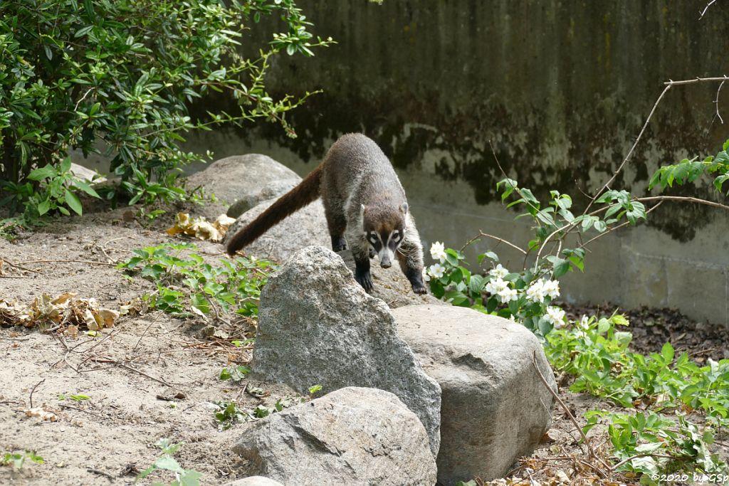 Weißrüssel-Nasenbär (Weißrüsselbär)