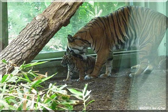 Sumatra-Tigerin MALEA mit ihren Söhnen ASIM und TARU am 07.07.11