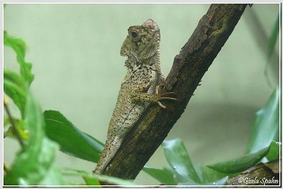 Cuviers Madagaskar-Leguan