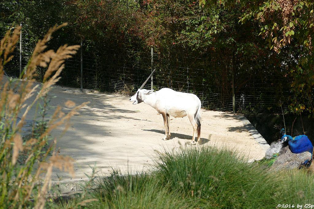 Arabische Oryx (Arabischr Spießbock, Weiße Oryx)