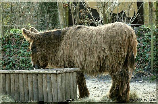 Poitou-Esel