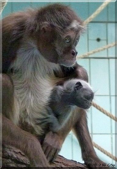 Goldstirnklammeraffe SHAKIRA mit ihrem Sohn EMMANUEL