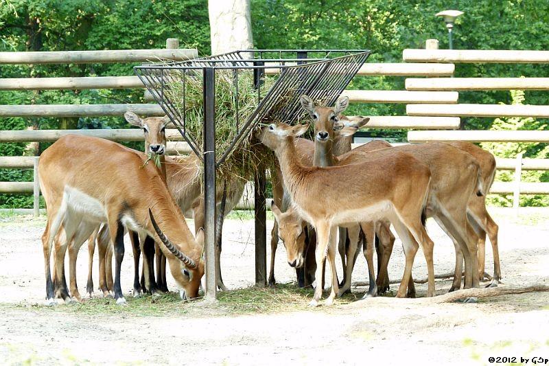 Letschwe (Litschi-Moorantilope)