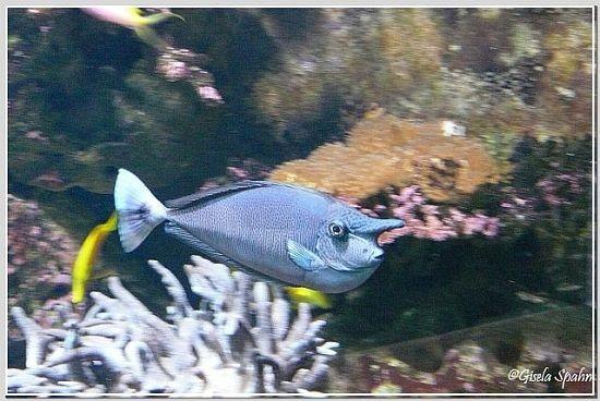 Kurzhörniger Hornfisch