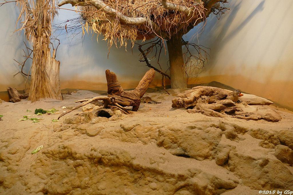 Kap-Borstenhörnchen, Siedelweber