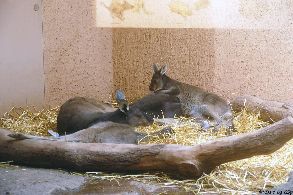 Schwarzgesichtskänguru (Steppenkänguru)