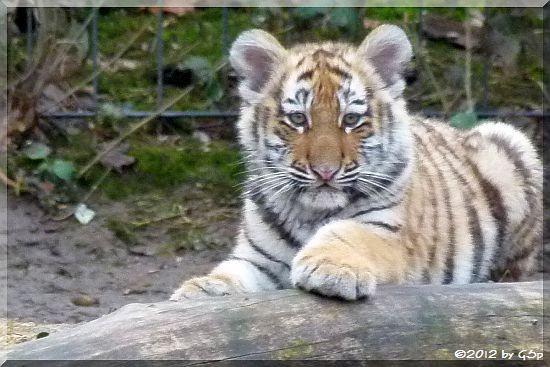 Sibirische Tigerin MILA