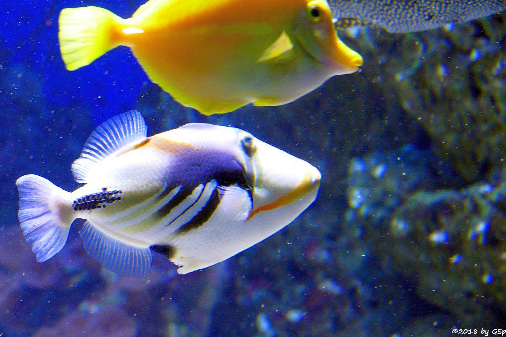 Gemeiner Picasso-Drückerfisch (Picassofisch), Gelber Segelflossen-Doktorfisch (Zitronenflossen-Doktorfisch, Hawaii-Doktorfisch)