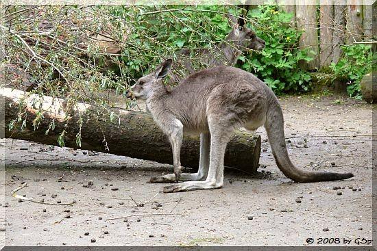 Graues Riesenkänguru
