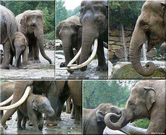 Asiatische Elefanten - 68 Fotos
