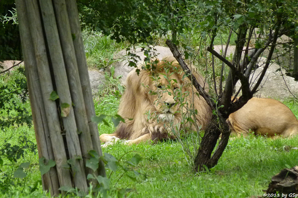 Angola-Löwe MATADI