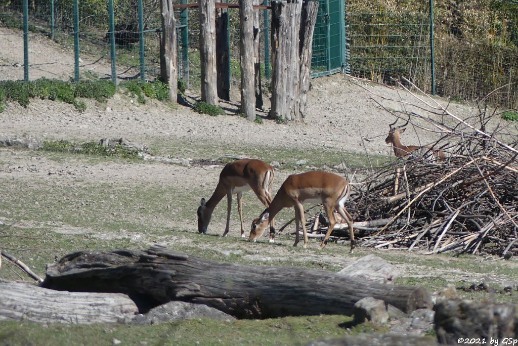 Impala (Schwarzfersenantilope)
