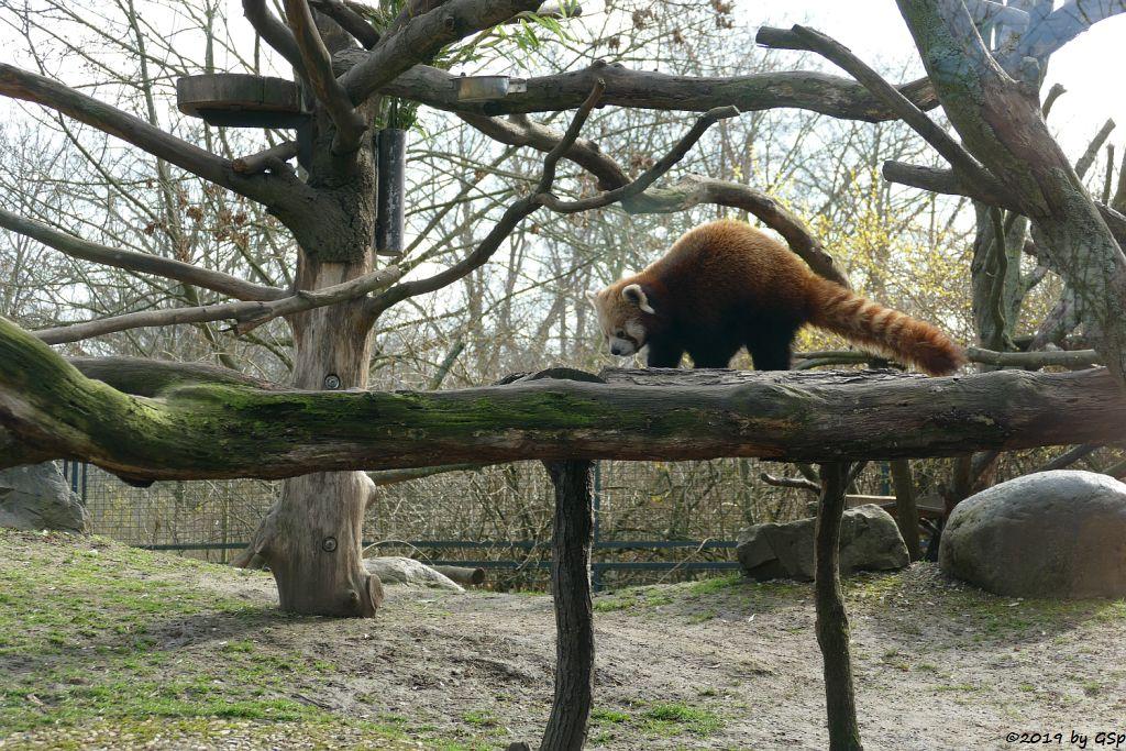Westlicher Kleiner Panda (Westlicher Katzenbär, Nepalisischer Roter Panda)