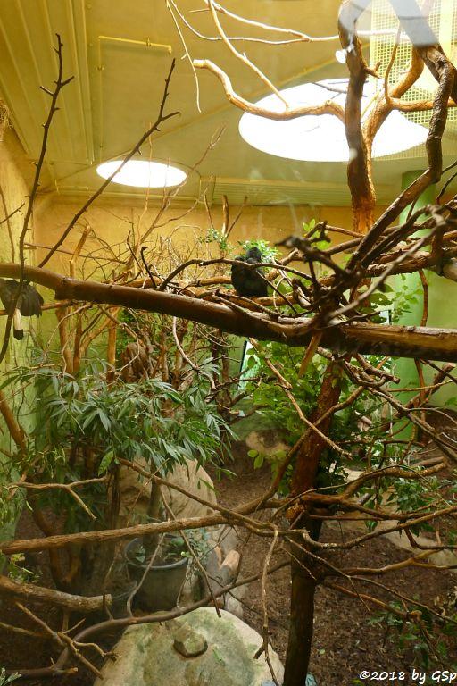 Visayas-Tariktikhornvogel