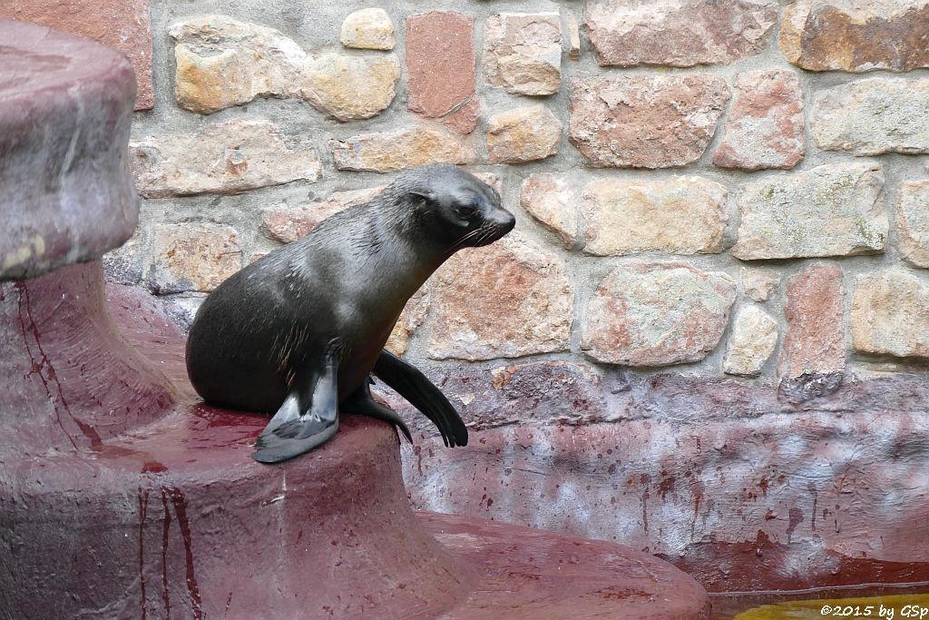 Südamerikanischer Seebär
