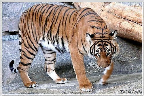 Der Sibirische Tiger SANDOR, der am 07.03.07 eingeschläfert werden musste