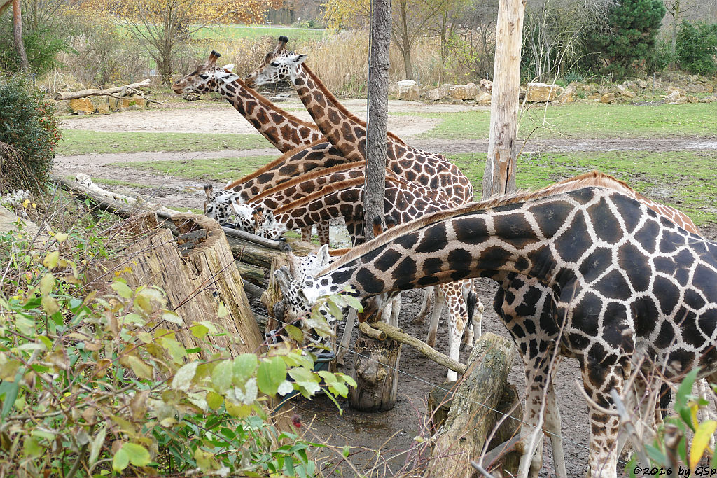 Rothschildgiraffe (Uganda-Giraffe, Baringo-Giraffe