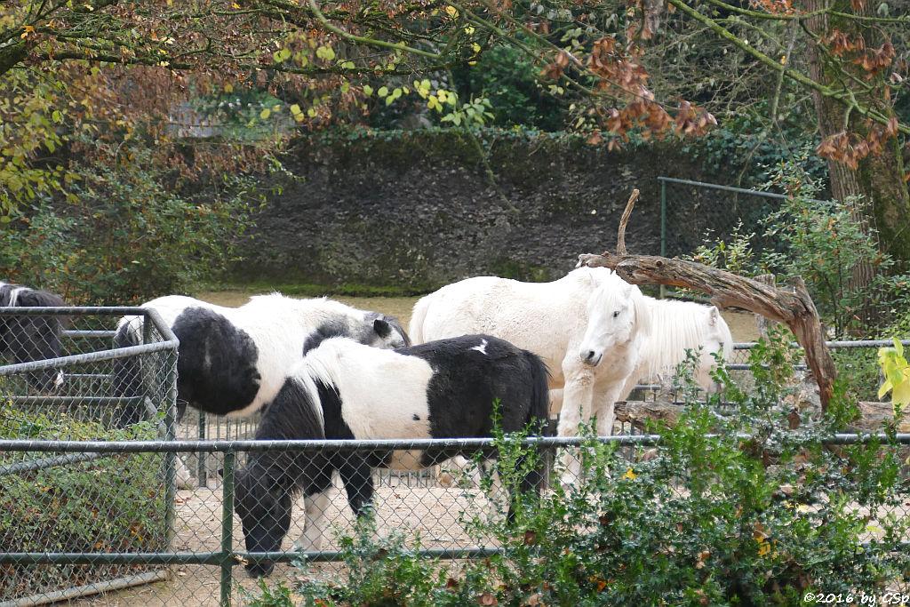 Shetland-Pony, Welsh-Pony