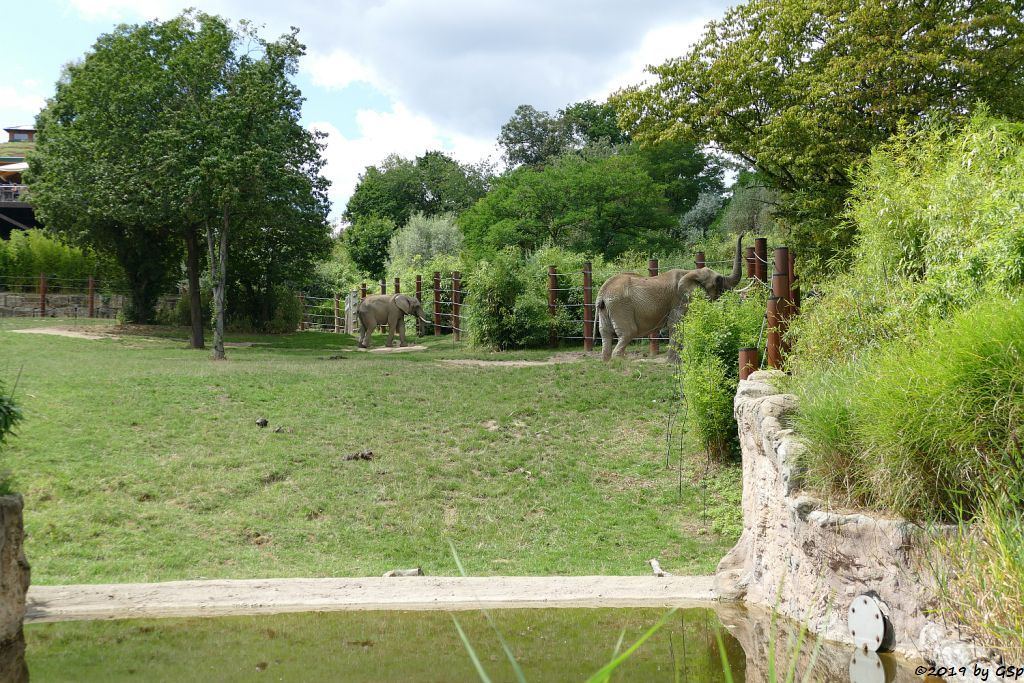 Afrikanischer Elefant TAMO und ZIMBA