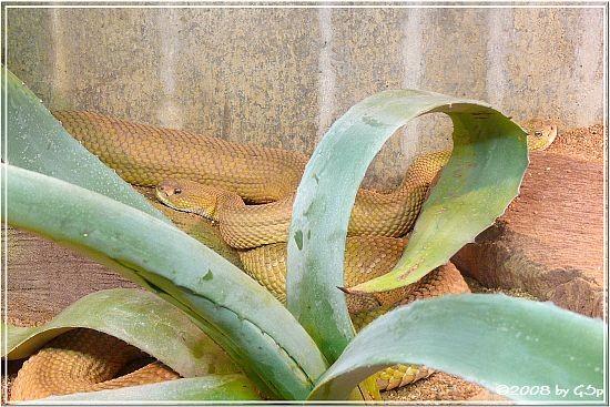 Basilisken-Klapperschlange