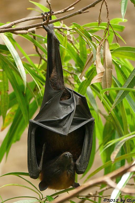 Vietnam-Insel-Flugfuchs