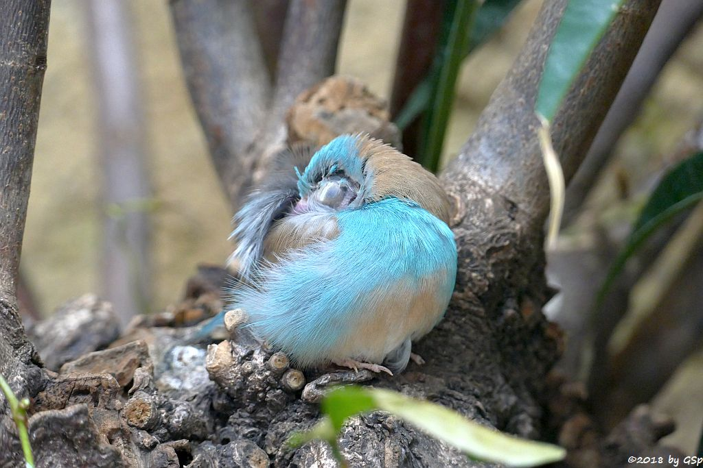 Blaukopfschmetterlingsfink