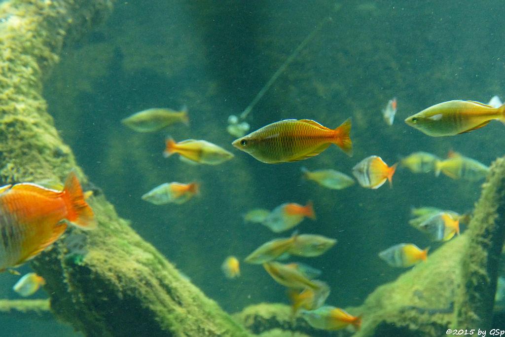 Korallen-Regenbogenfisch