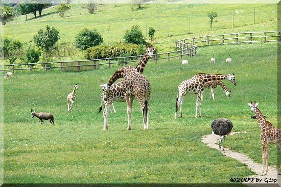 Rothschild-Giraffe, Blauhalsstrauß, Blässbock, Säbelantilope