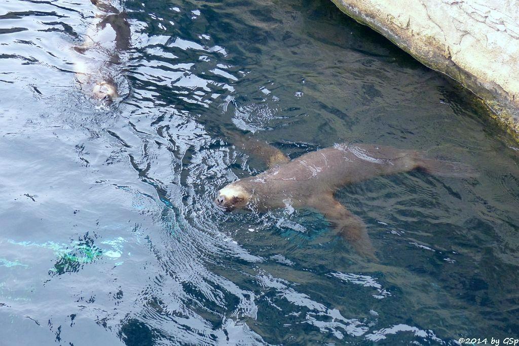 Mähnenrobbe (Südamerikan. Seelöwe)