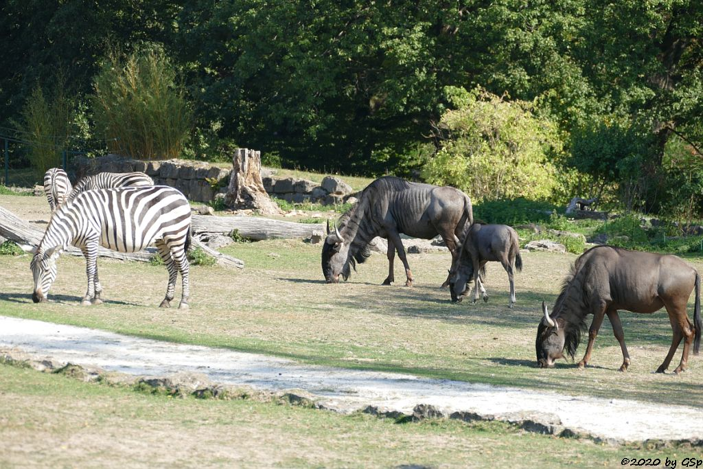 Böhm-Steppenzebra (Grant-Zebra), Südliches Streifengnu (Blaues Gnu)