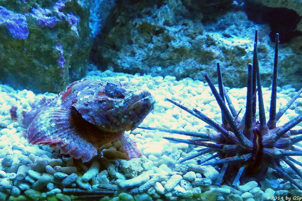 Buckel-Skorpionfisch (Falscher Steinfisch), Griffel-Seeigel