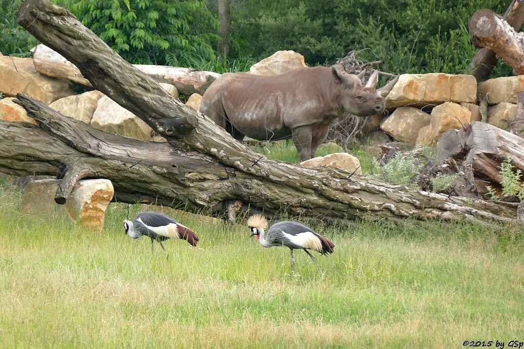 Südafrikanischer Kronenkranich, Spitzmaulnashsorn