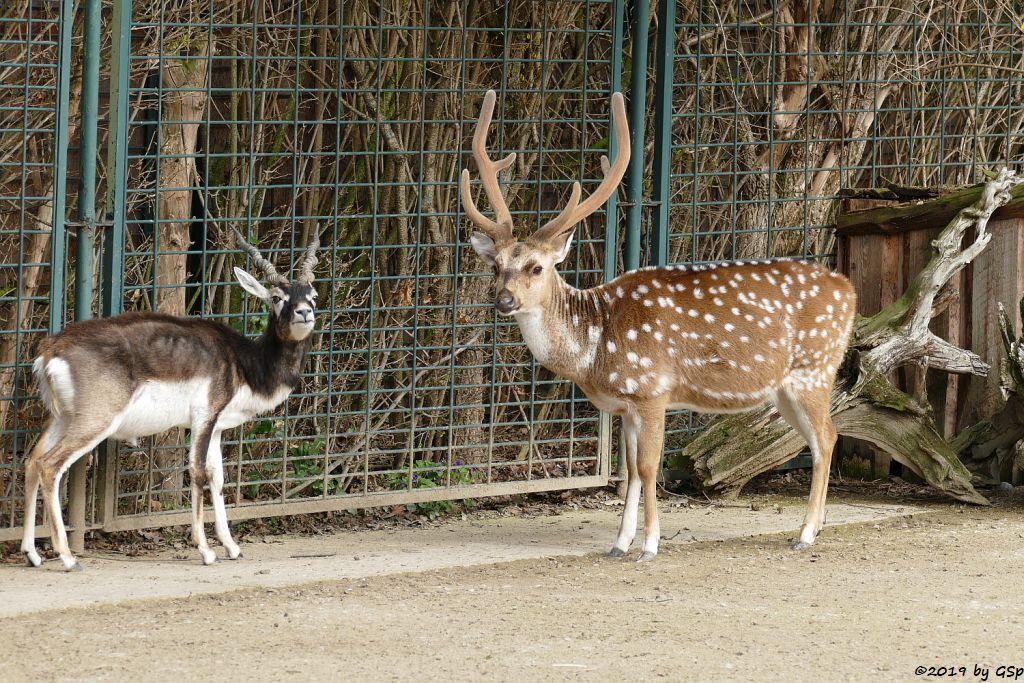 Hirschziegenantilope (Sasin), Axishirsch