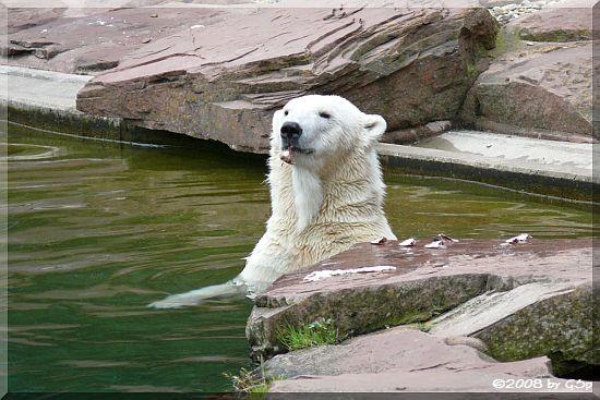 Eisbär FLOCKEs Mutter VERA