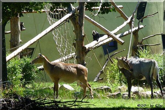 Nilgauantilope und Bartaffe