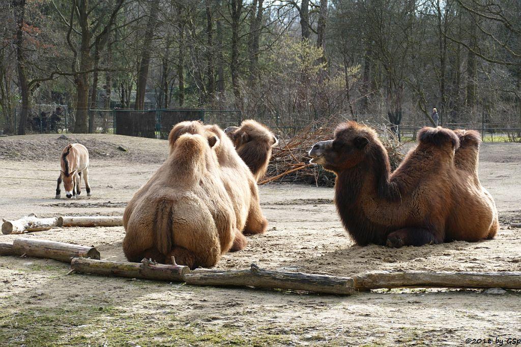 Przewalski-Pferd (Przewalski-Urwildpferd, Asiatisches Wildpferd), Trampeltier (Zweihöckriges Kamel)