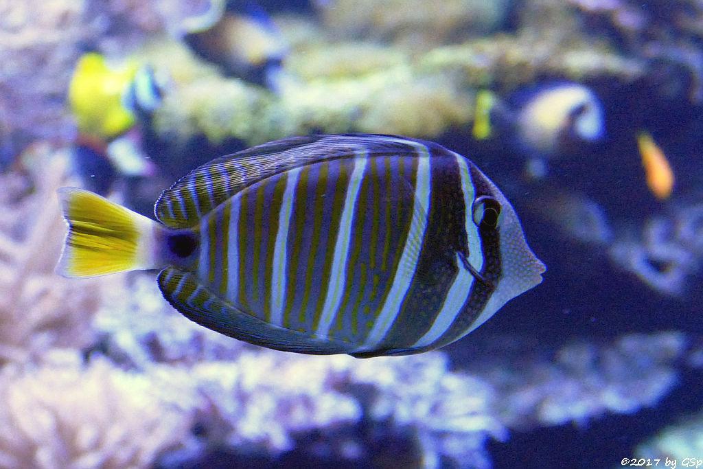 Pazifischer Segelflossen-Doktorfisch (Östlicher Segelflossen-Doktorfisch)