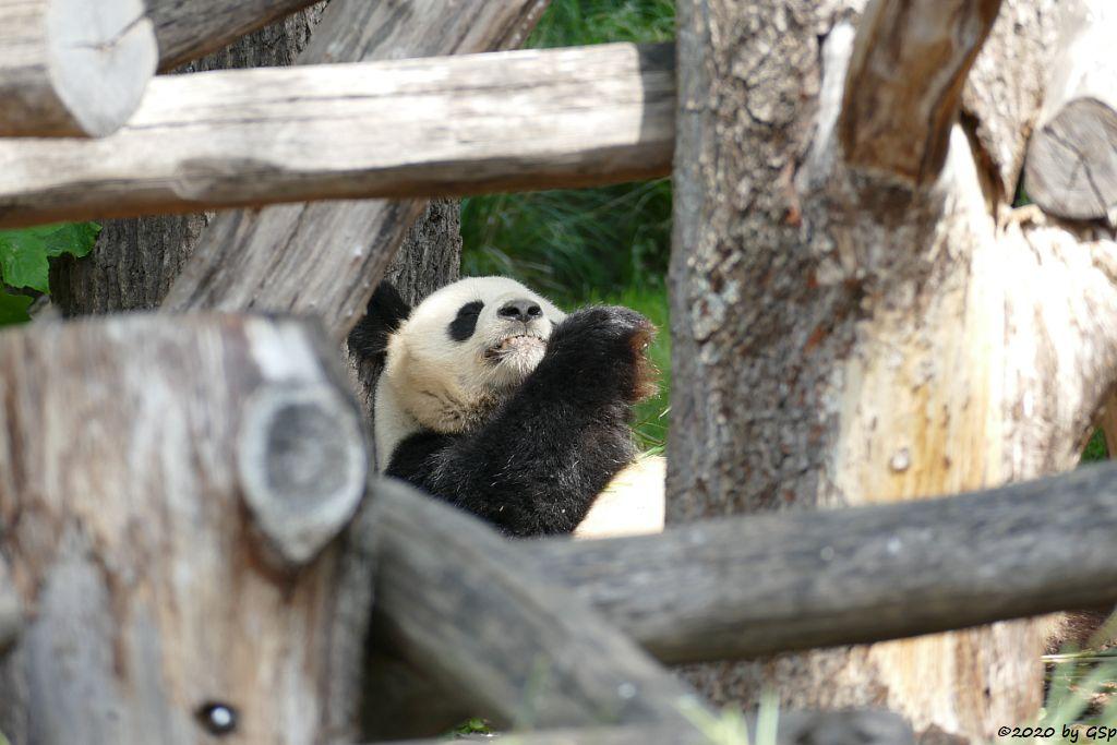 Großer Panda (Riesenpanda, Bambusbär) JIAO QING
