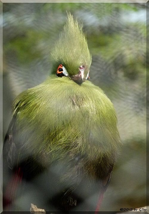 Buffon-Grünhelmturako