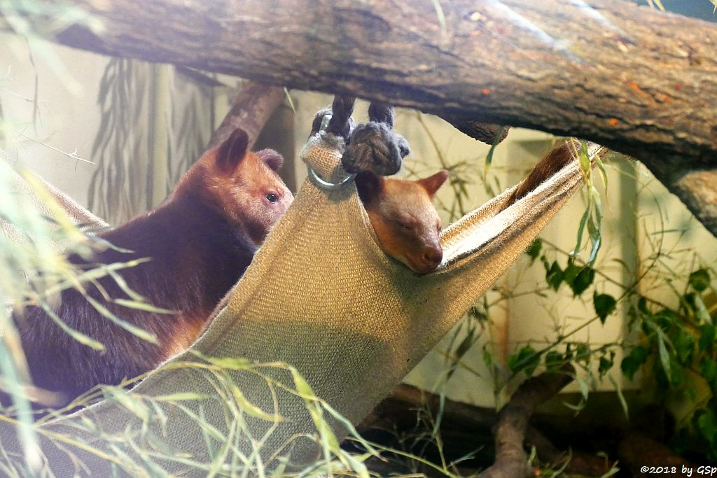 Timboyok-Baumkänguru (Goodfellow-Baumkänguru) YAYA-MAY mit ihrem Jungtier, geb. Mitte Mai 2017