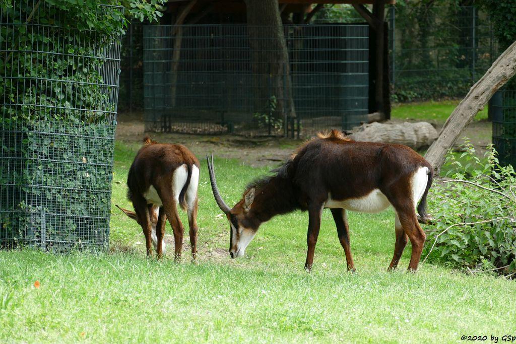 Südafrikanische Rappenantilope